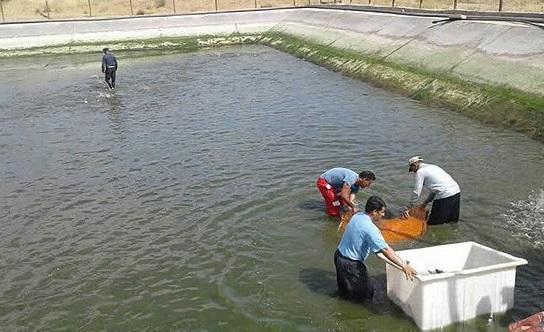 برداشت ماهی قزل آلا از مزرعه دانشگاه آزاد اقلید شروع شد